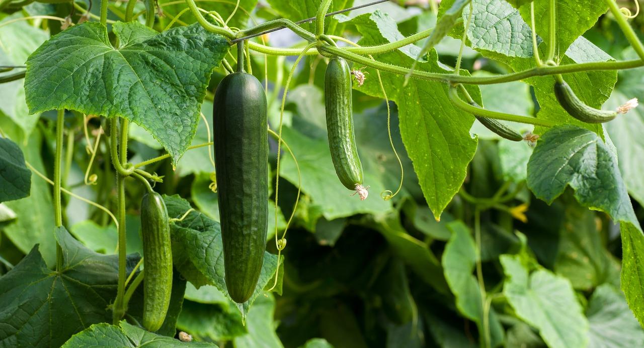 Українські тепличні огірки подешевшали на 23%