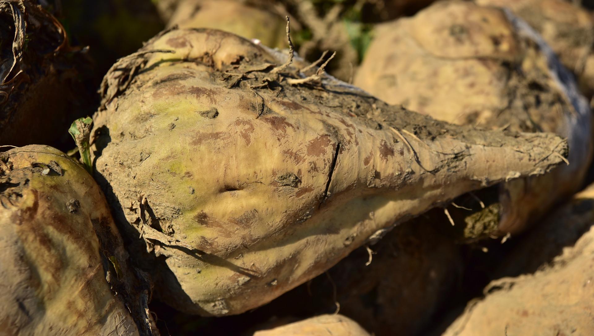 «Укрпромінвест-Агро» знизив на 7% переробку цукрового буряку  Джерело: Agravery.com