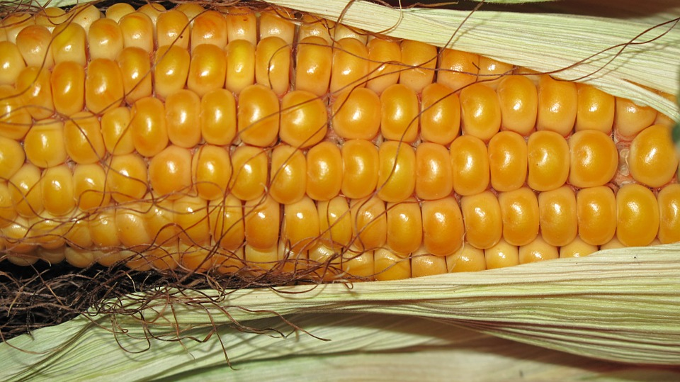 Індія імпортує близько 100 тис. тонн української кукурудзи