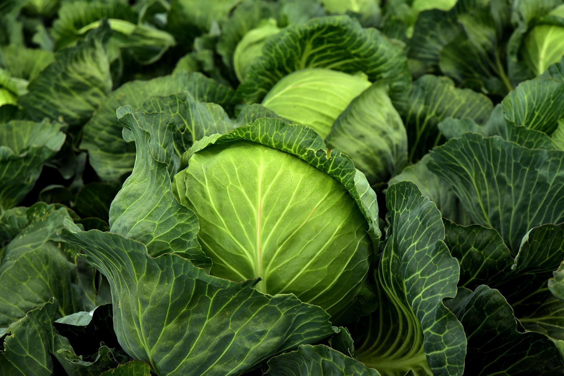 Молода капуста на ринку може з'явитися вже в кінці березня