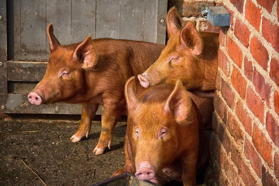 SOS: На Львівщині спалах АЧС виявили на свинофермі
