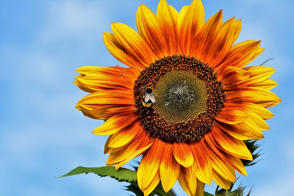 Виробництво насіння соняшнику в Україні збільшилось на 16%