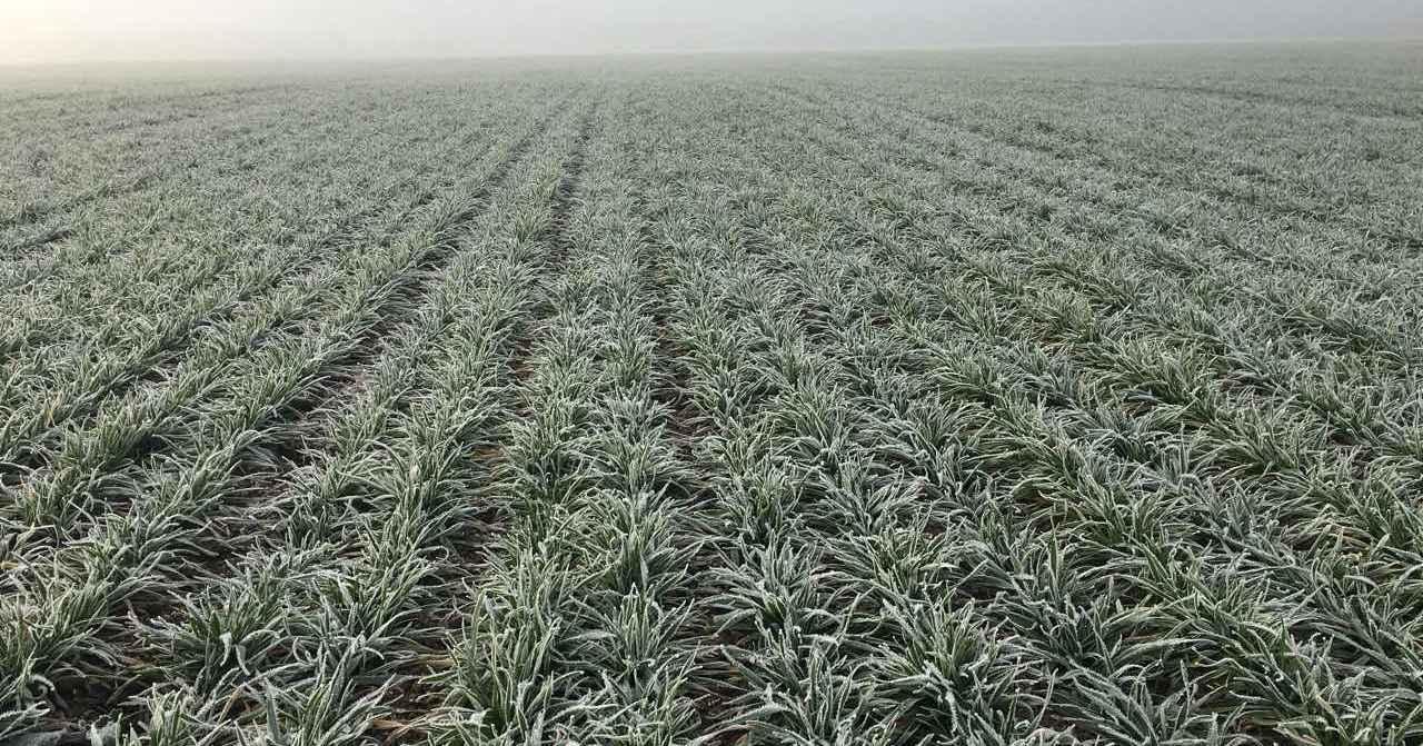 Озимі зернові переважно у доброму стані — НААН